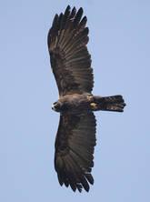 Eagle.Black.adult.14Nov2015b.jpg