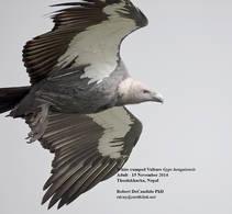 Vulture.WhiteRumped.15Nov2014.jpg