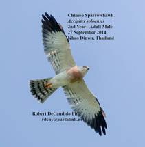 Sparrowhawk.Chinese.male.27Sep2014.jpg