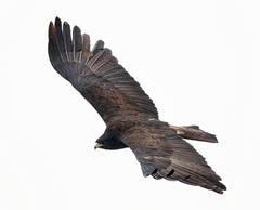 Eagle.Black.adult.7Dec2015b.jpg