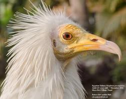 Vulture.Egyptian.head.7Dec2014.jpg