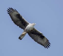 Eagle.Bonelli.adult.12Nov2016c.jpg