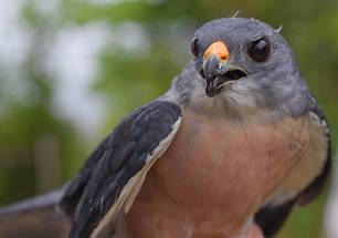 Sparrowhawk.Chin.male.band.23Sept2011d.jpg
