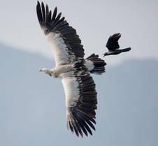Vulture.Himalayan.adult.Crow.12Nov2012.jpg