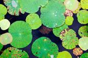 Lotus.Leaves08c.jpg