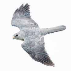 Sparrowhawk.Chinese.Male.Top.28Sep2013.jpg