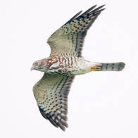 Sparrowhawk.Chinese.Juvenile.7Oct2013.jpg