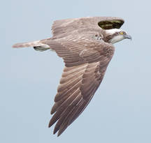 Osprey.male.8Oct2012c.jpg