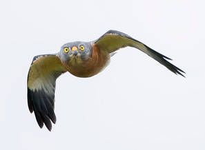 Sparrowhawk.Chinese.Female.8Oct2013b.jpg