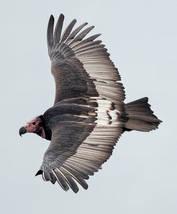 Vulture.RedHead.female.adult.12Nov2015f.jpg