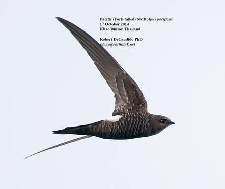 Swift.Forktail.17Oct2014.jpg