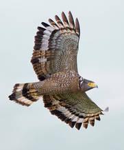 Eagle.CrestedSerpent.12Oct2013d.jpg