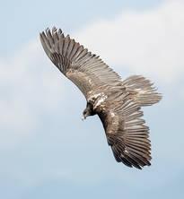 Vulture.Bearded.Juv.8Nov2016u.jpg
