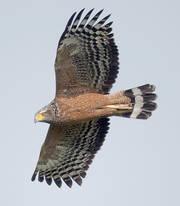 Eagle.CrestedSerpent.20Oct2012f.jpg