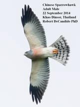 Sparrowhawk.Chinese.male.22Sep2014b.jpg