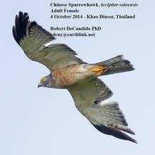 Sparrowhawk.Chinese.female.4Oct2014b.jpg