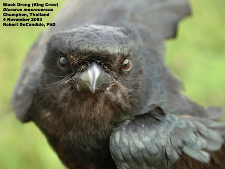 Drongo1.email.jpg