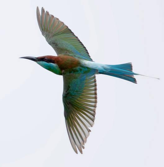 Bee-eater.BlueThroat.30Sep2013.jpg