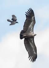 Vulture.WhiteRumped.SubAd.11Nov2016.jpg