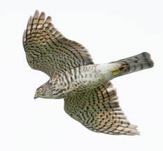 Sparrowhawk.Jap.juvenile.female.4Oct2013.jpg