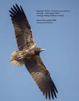 Vulture.Egyptian.juvenile.9Dec2014b.jpg