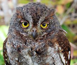 Owl.OrientalScops.16Oct2012.Kaset.jpg