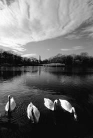 Swans.Clouds.2006.jpg