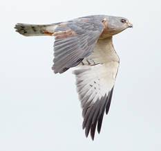 Sparrowhawk.Chin.male.sub.25Sept2011.jpg
