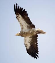 Vulture.Egyptian.subadult.1Dec2012c.jpg