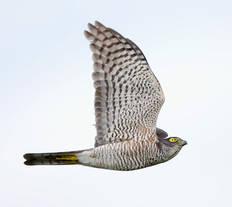 Sparrowhawk.Jap.fem.adult.20Sep2012.jpg