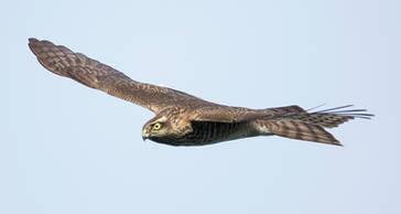 Sparrowhawk.Japanese.Juvenile.22Oct2013b.jpg
