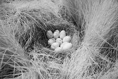 Nest.Mallard.25June2011b.jpg