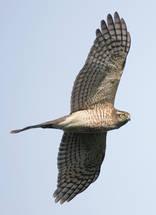 Sparrowhawk.Eurasian.Juvenile.22Oct2014.jpg