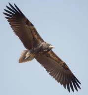 Vulture.Egyptian.juvenile.1Dec2012d.jpg