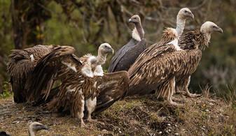 Vulture.Himalayan.feeding.12Nov2015g.jpg
