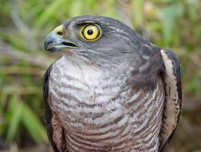 Sparrowhawk.Jap.fem.adult.head.21Sep2012.jpg