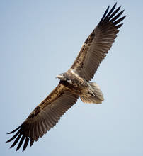 Vulture.Egyptian.juvenile.1Dec2012g.jpg