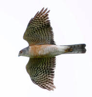 Sparrowhawk.Jap.male.adult.16Sep2013.jpg