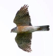Sparrowhawk.Jap.male.adult.16Sep2013.jpg