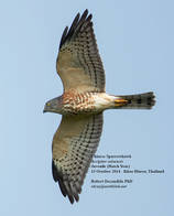 Sparrowhawk.Chinese.Juvenile.13October2014.jpg