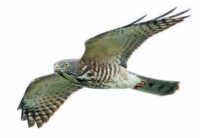 Sparrowhawk.Chinese.Juvenile.30Sep2013.jpg