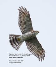 Sparrowhawk.Jap.Juvenile.21Oct2014.jpg