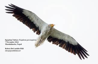 Vulture.Egyptian.7Nov2014b.jpg