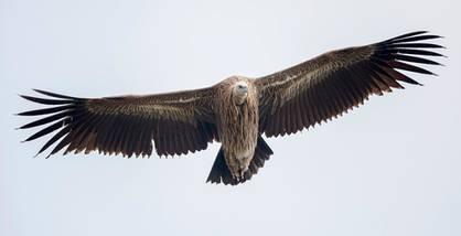 Vulture.Himalayan.subadult.1Dec2016bb.jpg