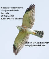 Sparrowhawk.Chinese.Juvenile.30Sep2014.jpg