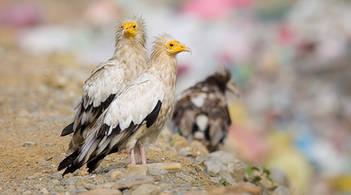 Vulture.Egyptian.Pair.30Oct2013.jpg