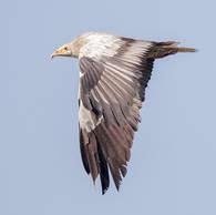 Vulture.Egyptian.Wing.2Nov2016.jpg
