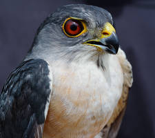 Sparrowhawk.Jap.male.adult.head.20Sep2012b.jpg