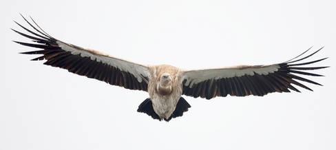 Vulture.Himalayan.adult.23Nov2016b.jpg