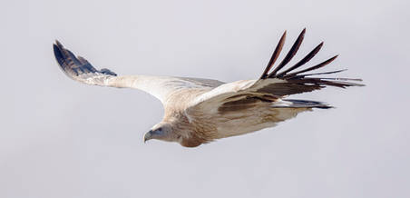 Vulture.Himalayan.adult.24Nov2016b.jpg